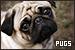 Dogs: Pugs