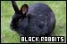 Rabbits: Black